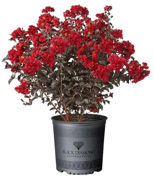 2.25 Gal. Best Red Crape Myrtle Tree with Red Flowers + F/S
