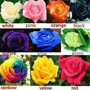 100 Rose Flower Seeds Mixed Multicolored Decorative Rare Plants in Garden Bonsai