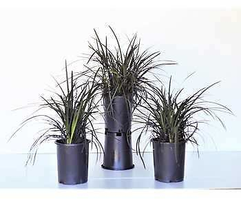 Ophiopogon 'Black Mondo' Plant, 3-Pack