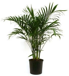 Costa Farms Cateracterum Palm in 9.25 In. Grower Pot-10CAT