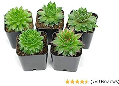Succulent Plants   5 Sempervivum Succulents   Rooted in Planter Pots with Soil   Real Live Indoor Plants   Gifts or Room Decor By Plants for Pets