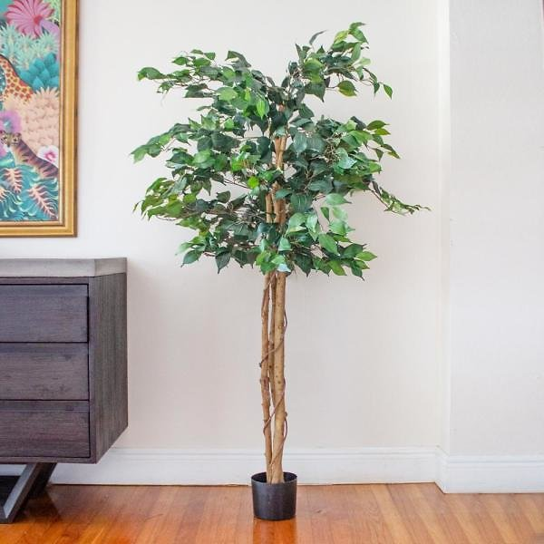 5' High Indoor Ficus Tree