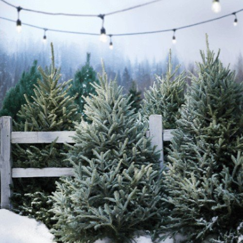 Free Delivery On Fresh Cut Trees With Online Order