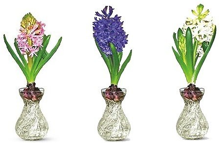 Hyacinth in Glass Vase Assorted Colors (In-Store)