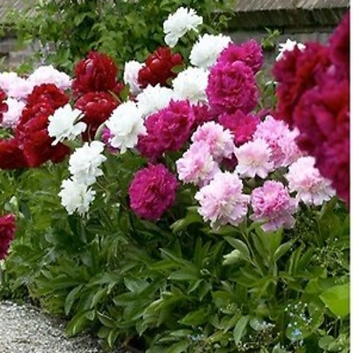 Double Bloom Mixed Peony Flower Bulbs (16-Pack With Planting Tool) + F/S