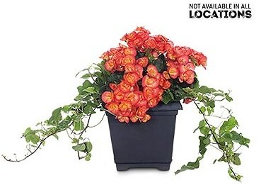 Rieger Begonia Assorted Colors (In-Store)