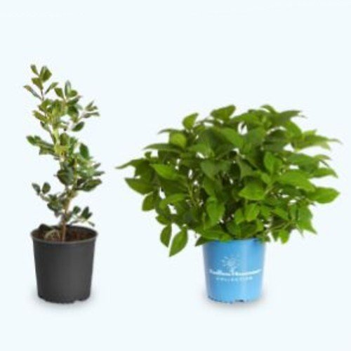 Brighter Blooms Potted Trees & Shrubs