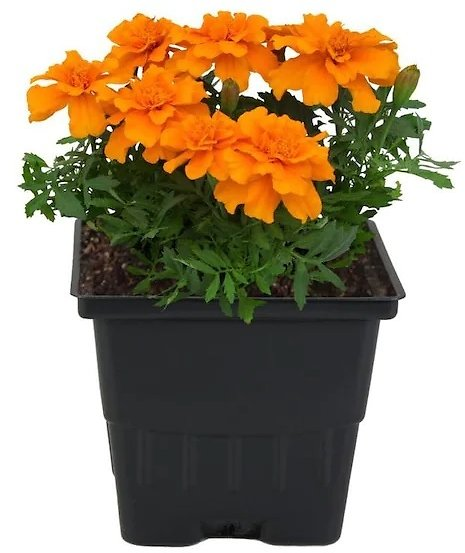 1.5-Pint Multicolor French Marigold (Dwarf) in Pot (In-Store)