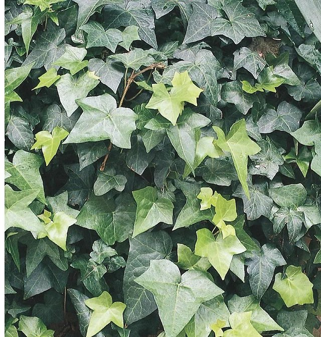 English Ivy (In-Store)