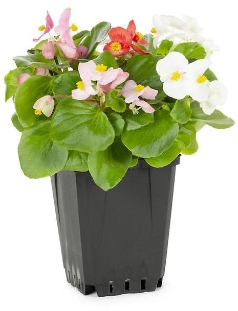1-Pint Multicolor Begonia in Pot (In-Store)