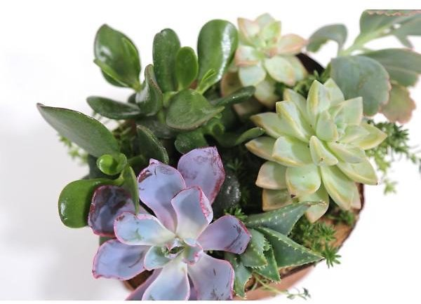 8″ Hand Carved Reclaimed Wood Centerpiece w/ Live Succulents