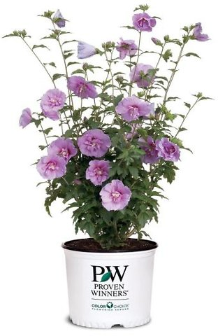 2 Gal. Lavender Chiffon Rose of Sharon (Hibiscus) Plant with Lavender Flowers + F/S