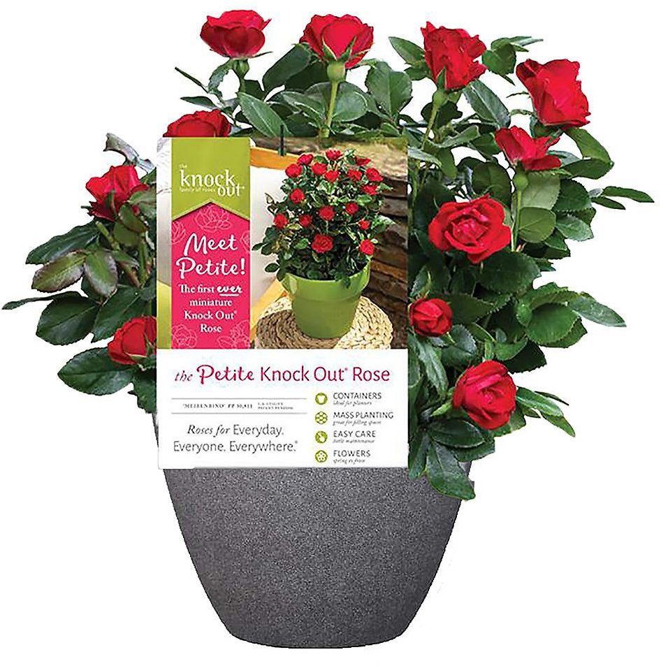KNOCK OUT 10 In. Petite Rose in Decorative Pot + F/S