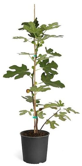 Brighter Blooms 2-Gallon Chicago Hardy Fig Tree Fruit Tree in Pot