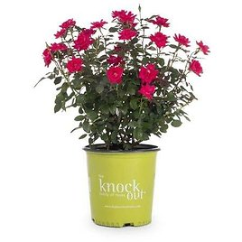 1-Gallon in Pot Red Double Knock Out Rose (Lw02389) Lowes.com