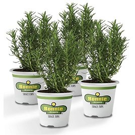 4-Pack Bonnie Plants Rosemary Live Edible Aromatic Herb Plant