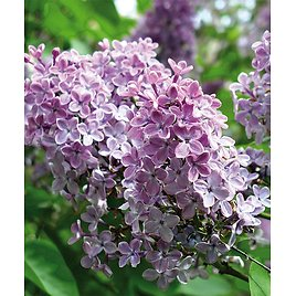 Purple Lilac Root Stock