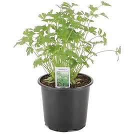 1-Pint in Pot Herb (In-Store)