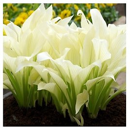 2 Bare Roots Touch Of ECO White Feather Hosta