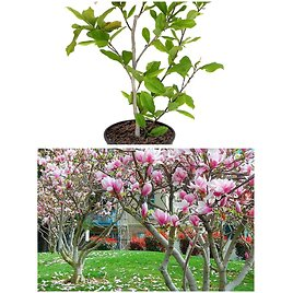 Southern Planters Multicolor Japanese Magnolia Alexandrina Flowering Tree in Pot (Magale01g)