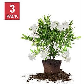 Frost Proof Gardenia 1 Gallon, 3-pack